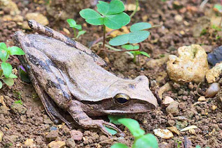 Common Tree Frog, Polypedates leucomystax
