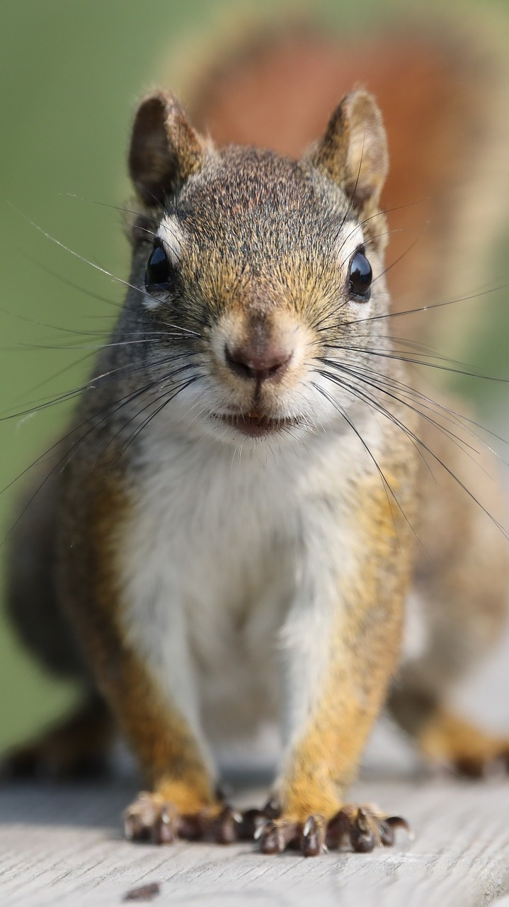 Picture of a squirrel up close.