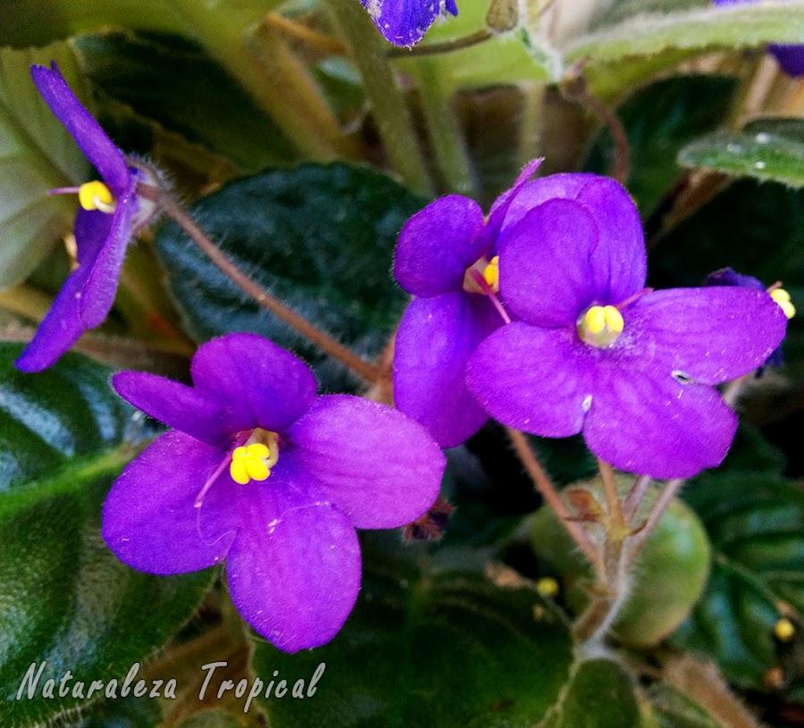 Flores de una Violeta Africana, género Saintpaulia