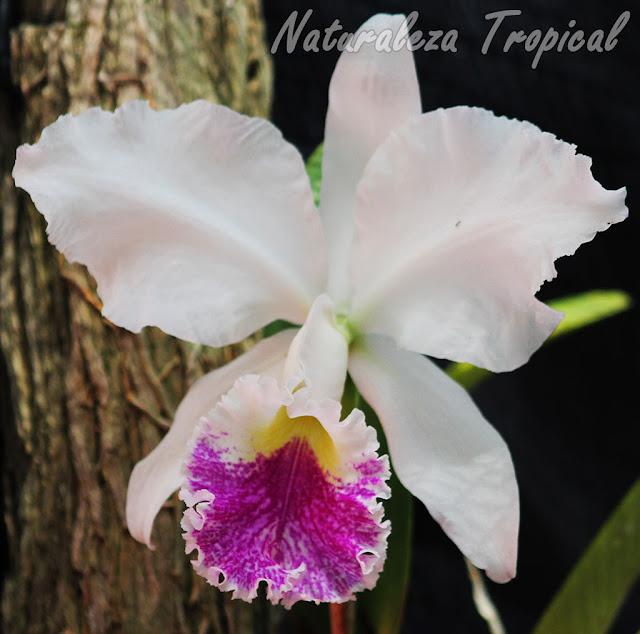 Flor blanca de una especie de orquídea del género Cattleya
