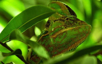 green chameleon widescreen resolution hd wallpaper