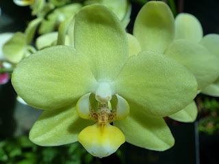 Phalaenopsis King Car Yellow Girl - Doritaenopsis King Car Yellow Girl