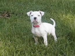 american bulldog traits characteristics and history of american bulldog breed 3809