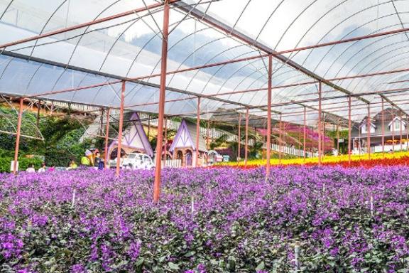Tempat menarik di Cameron Highland Lavender garden