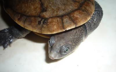 kura kura leher panjang (Chelodina novaeguineae)