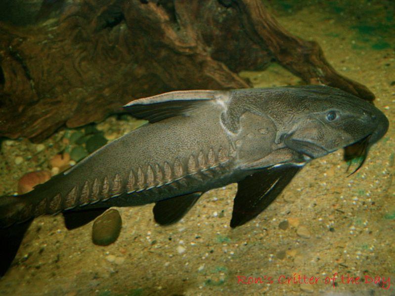 Gambar Thorny Catfish Jenis Jenis Ikan Catfish Atau Lele Hias