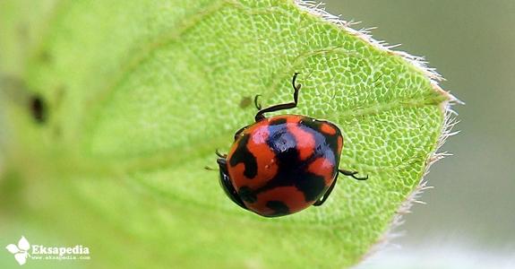Serangga Kumbang Merah