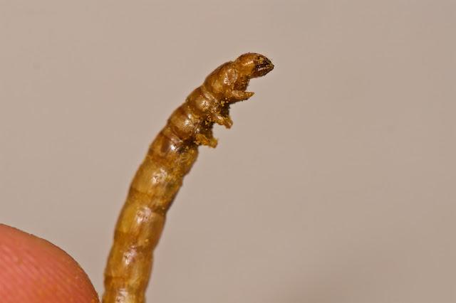 Vers de farine au curry insectéo