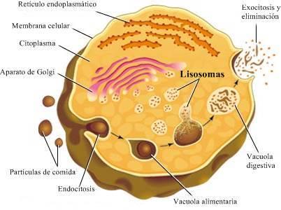 Lisosoma: digestión intracelular