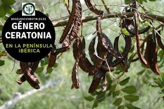 El género Ceratonia arboles que pueden llegar hasta 10 m de altura, que mantienen la hoja todo el año
