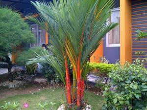 tanaman hias-pohon-palem-merah