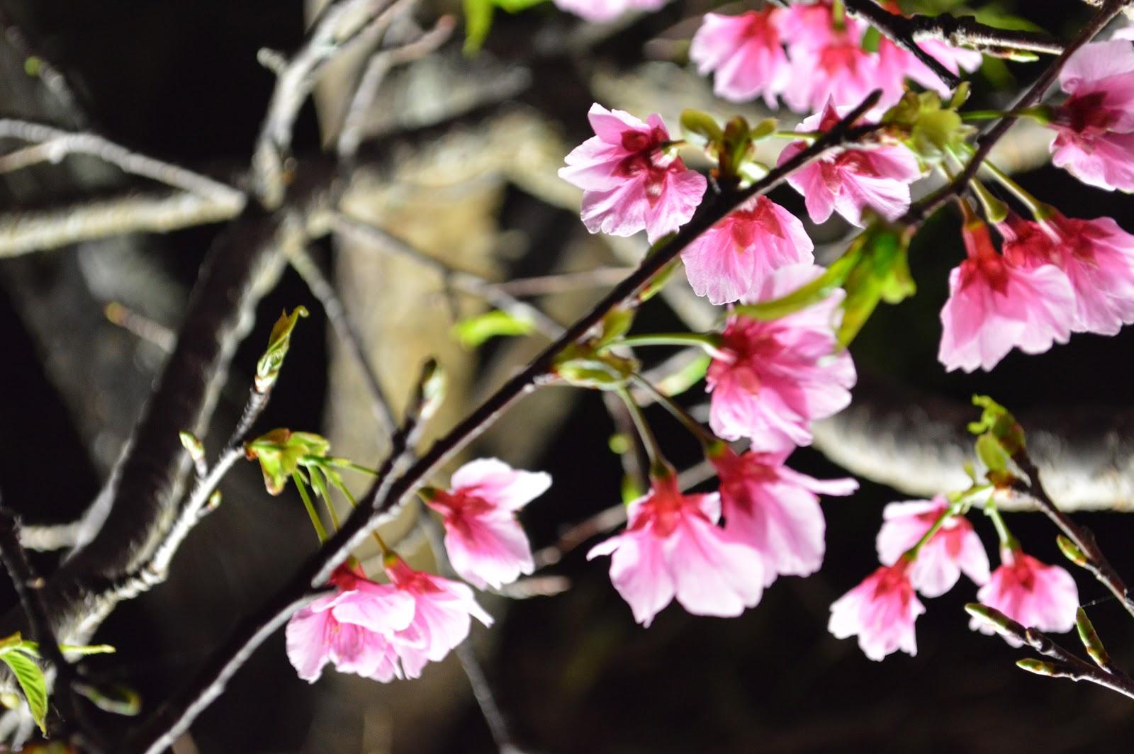沖縄のヒカンザクラ Spring is here!