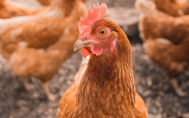 Ventimiglia, in arrivo le galline pensierose...