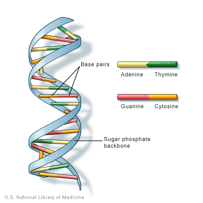DNA structure.