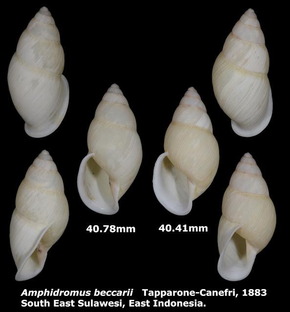 Amphidromus beccarii 40.41 & 40.78mm