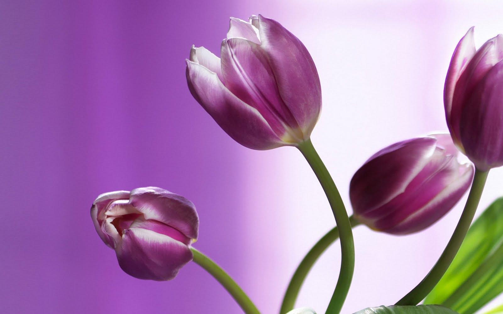 Beautiful Purple Tulips HD Wallpaper