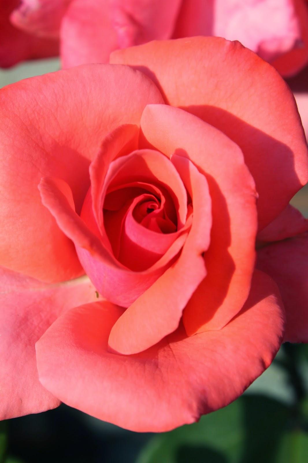 orange rose rosa salmon
