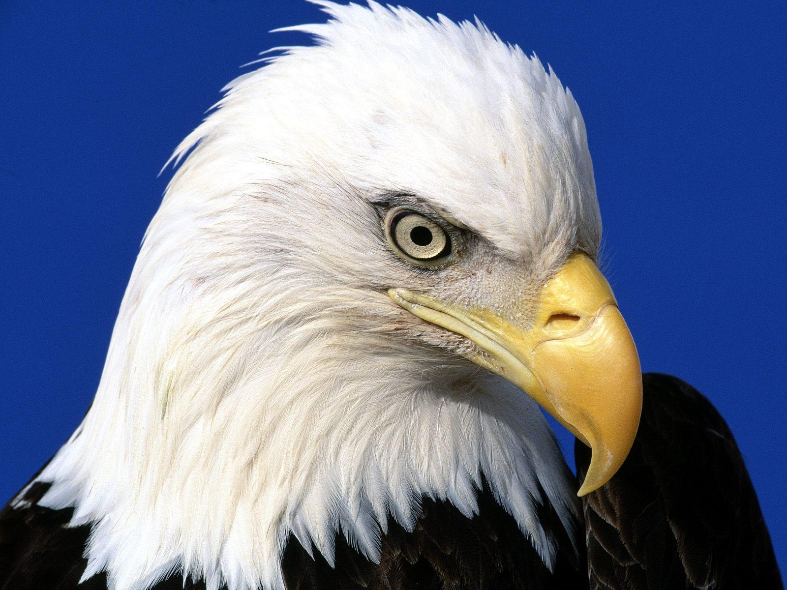 Flying Animal: Bald Eagle