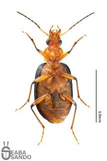 クビアカモリヒラタゴミムシ