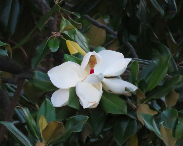A magnolia flower in August, Livorno