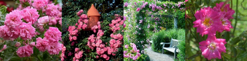 Rambling rose 'Dorothy Perkins' Rosal sarmentoso