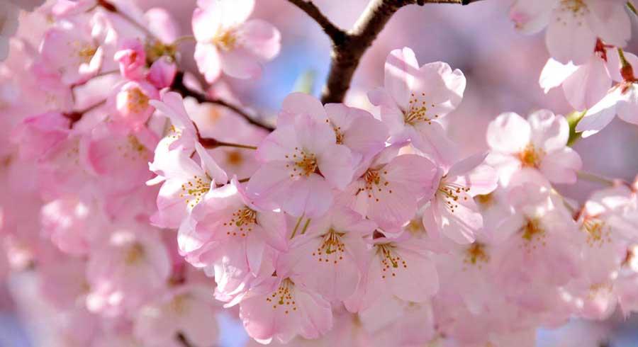 Sakura La Leyenda Japonesa De La Flor De Cerezo Y El Amor Verdadero
