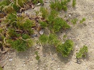 Lycopode petit Cyprès - Lycopode à trois épis - Lycopodium tristachyum