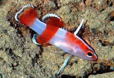 ikan hias Bladefin Basslet