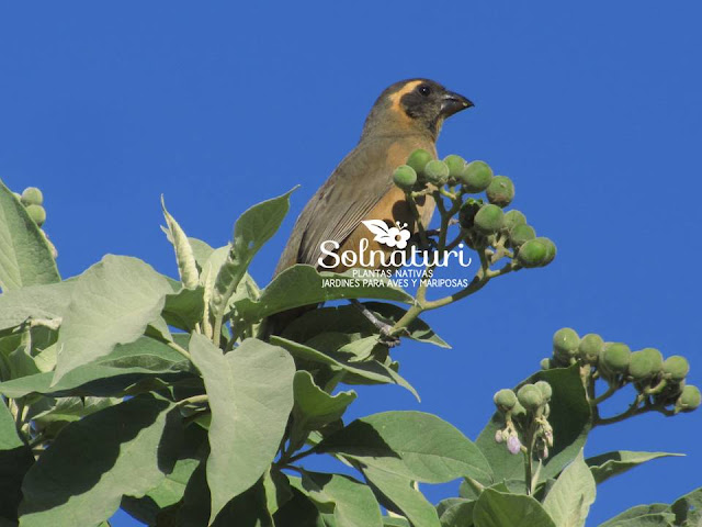 Solanum granulosum-leprosum Fumo Bravo frutos alimento de Saltator auriventris Pepitero de Collar