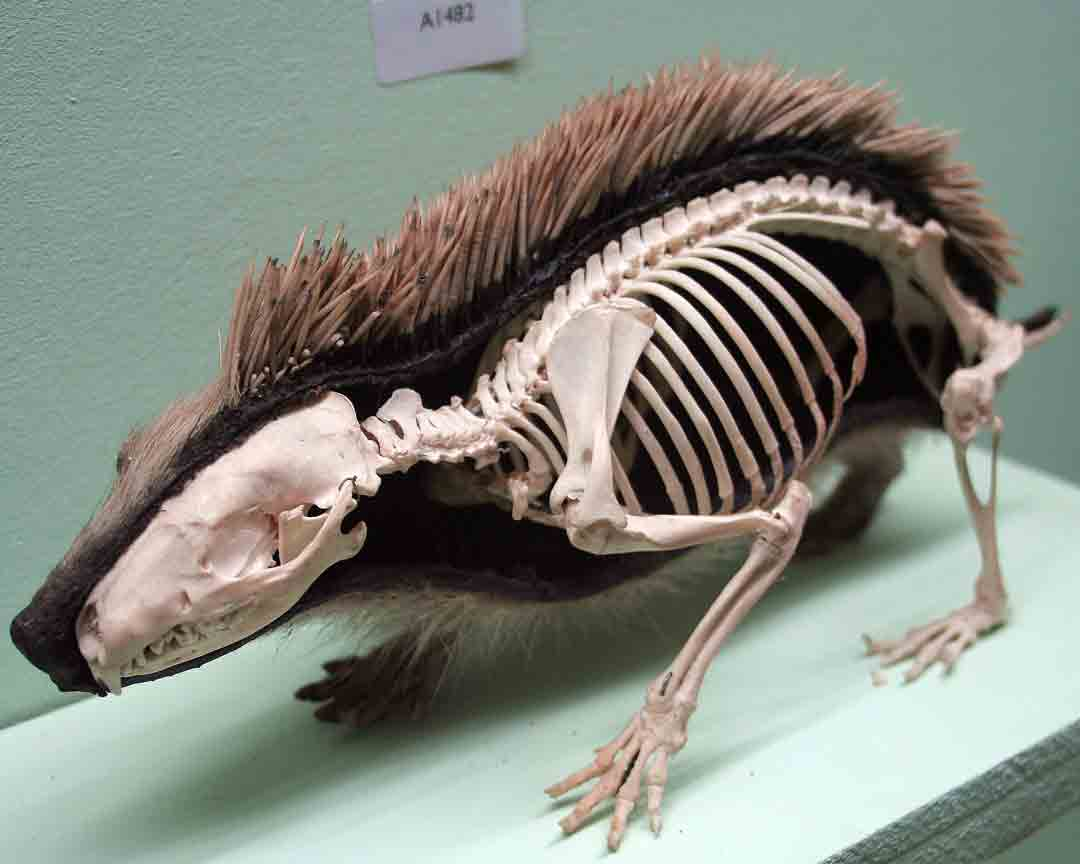 Esqueleto, piel y púas del erizo de tierra