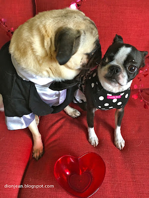 Liam the pug whispering in Sinead the Boston terrier's ears