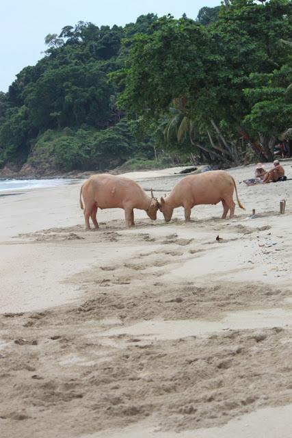 на пляже быки
