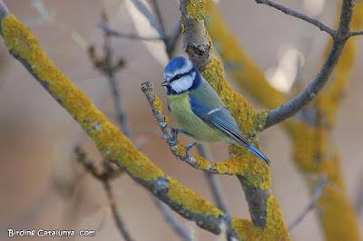 Mallerenga blava (Parus caeruleus)