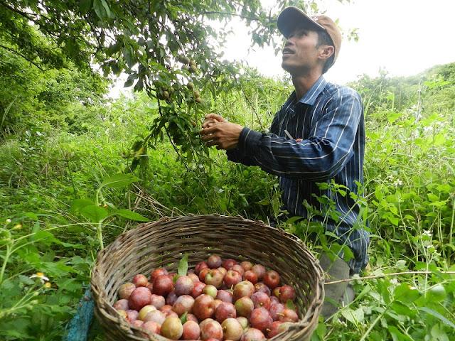 Moc Chau plateau on the season of plum 3