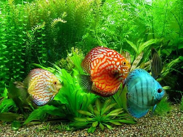 Discus balığı hakkında bilgi