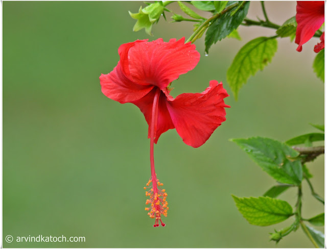 Beauty, Red Hibiscus, Flower,