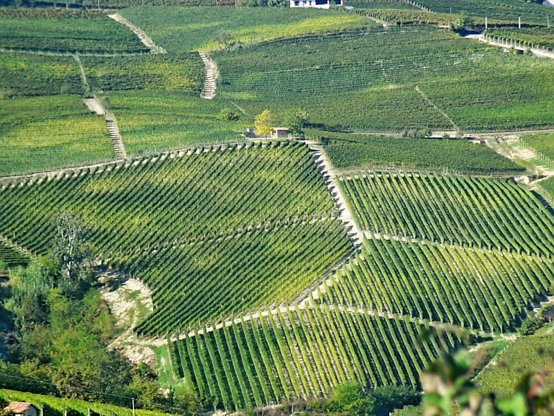 Vineyards in Piedmont