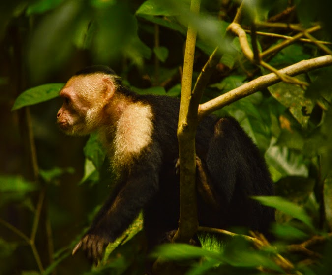 Capuchin monkey of Costa Rica