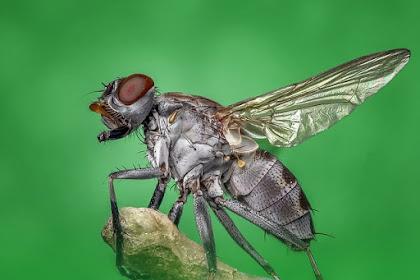 5 Petua Dan Cara Halau Lalat Yang Berkesan