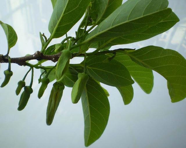 Nụ hoa và lá Na - Annona squamosa - Nguyên liệu làm thuốc Chữa Cảm Sốt