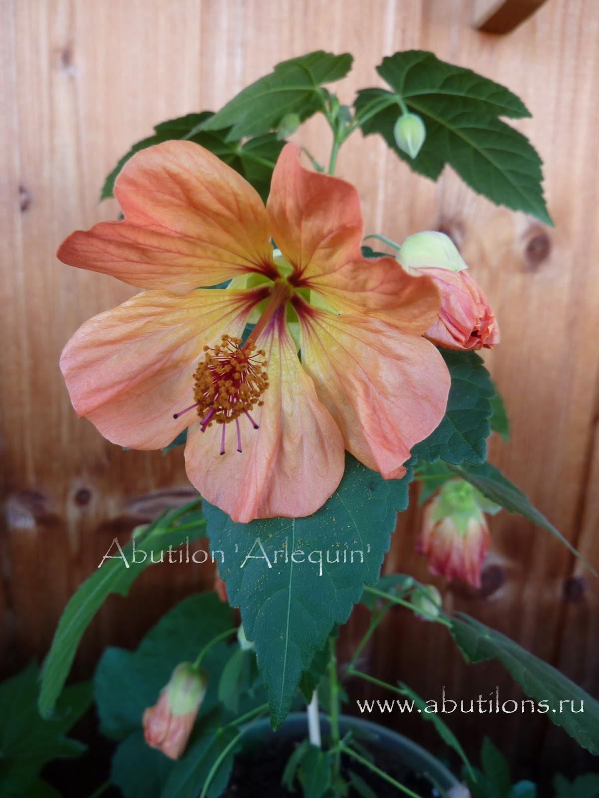 Abutilon Cross Pollination Breeding Propagation