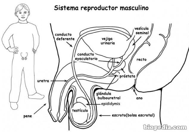 como dibujar el aparato reproductor del hombre