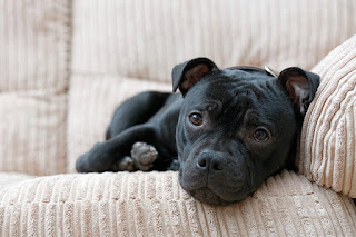 Everything about your Staffordshire Bull Terrier