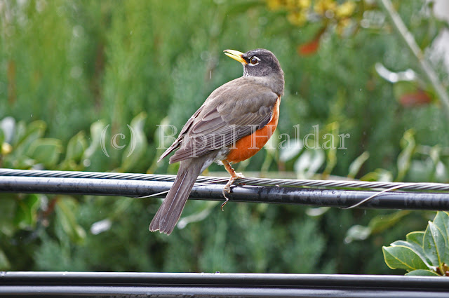 American Robin Soaking in Rain