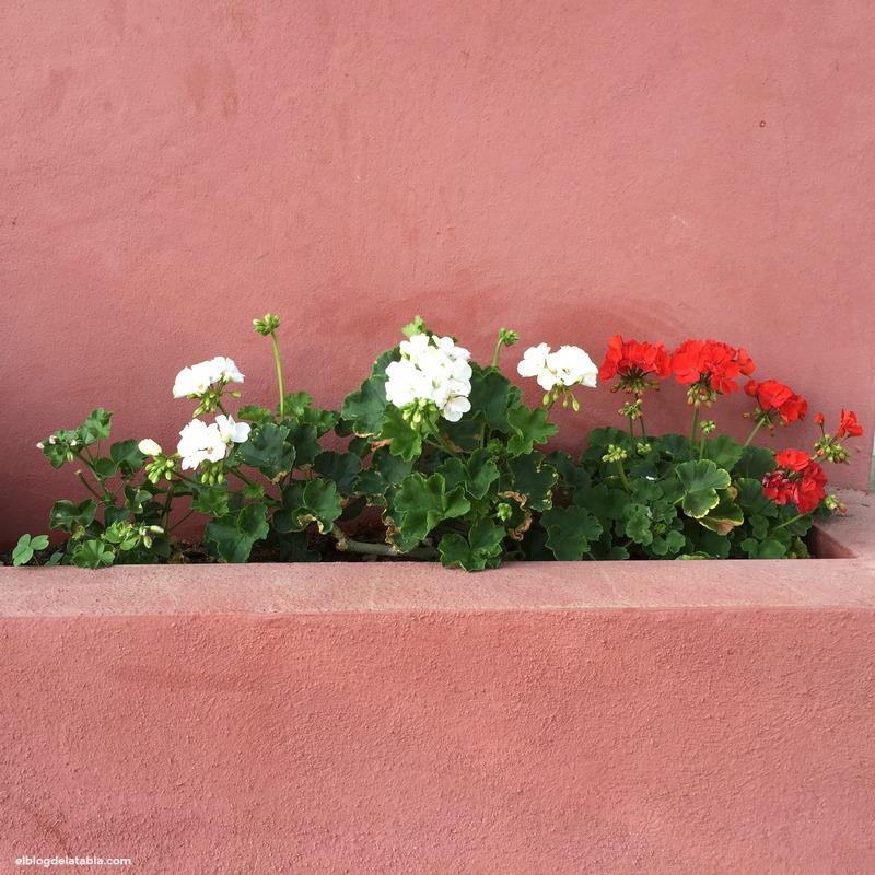 geranios (Pelargonium zonale)