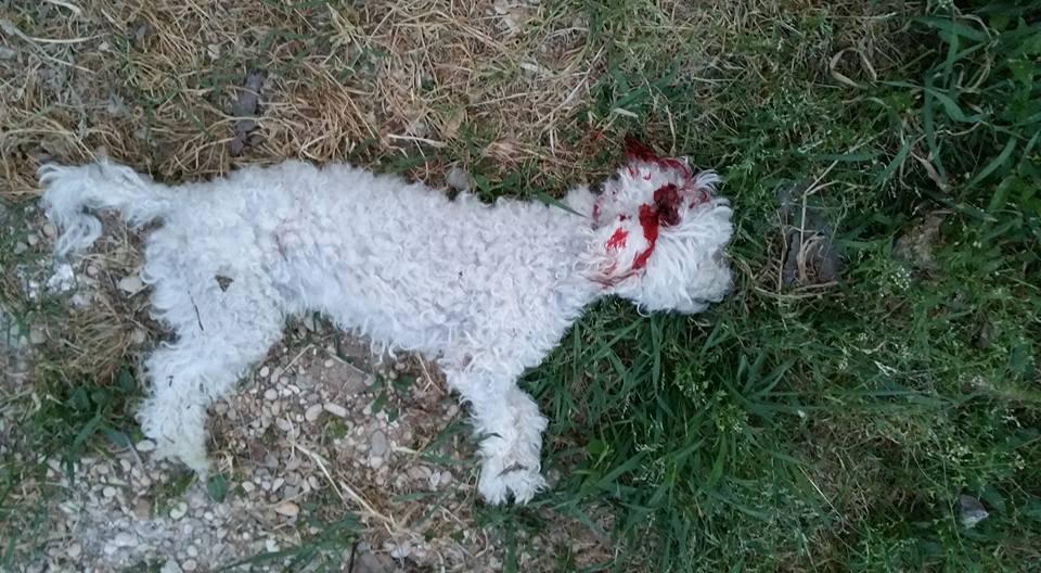 Giustizia per snoopy ucciso un cagnolino dalla furia - Barboncino piccolo ...