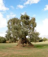 Ulivi in Puglia malati