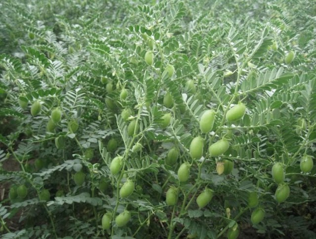 Bozovalı Çiftçiler ithalata karşı nohut ekti