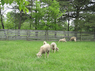 sheep at Slate Run Farm