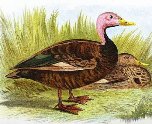 Indian birds - Pink-headed duck - Rhodonessa caryophyllacea